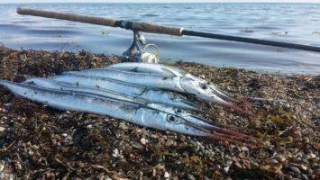 Hornfisk på Silkekrogen