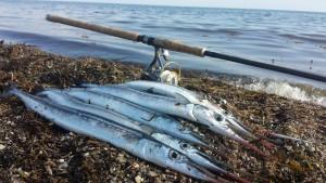 Hornfisk på silkekrogen i højsæsonen i maj måned