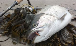 Kobberbassen - kystfluer til havørreder