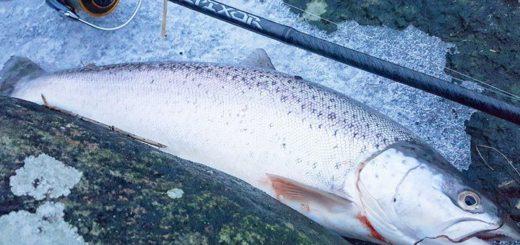 Fiskestang til havørred. Kyststang til under 1000 kr